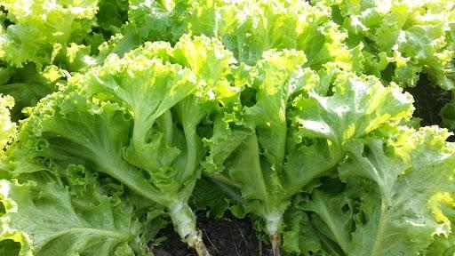 ประโยชน์ของผักกาดหอม-ช่วยในเรื่องของการลดน้ำหนัก