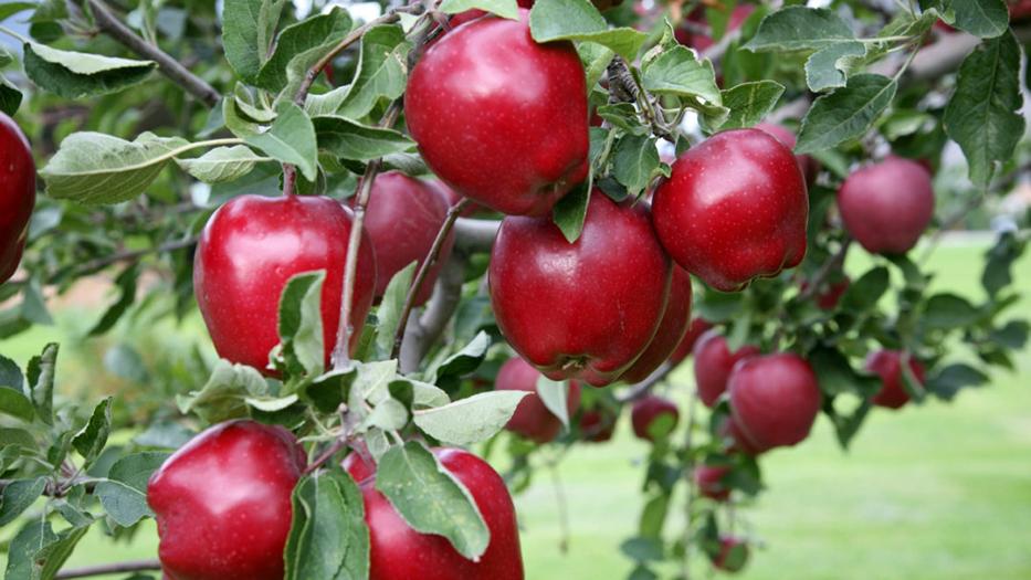รวมประโยชน์ของแอปเปิ้ล ที่คนรักสุขภาพต้องหามาไว้ทาน 2